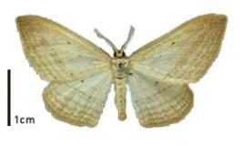 Flax window moth